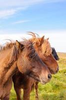 isländska hästar