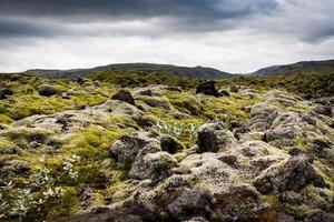 Island, mossfält med mysk.