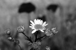 blomma på ängen