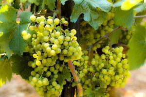 vingård