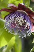 passiflora malformis makro