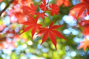lönnfärgade löv