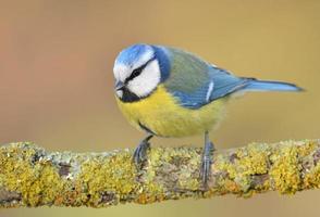 blå mes på en gren