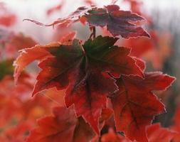 röd frostlönn