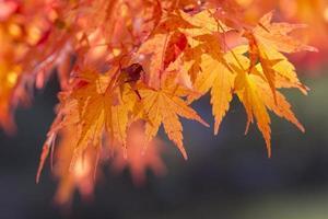 lönn på hösten