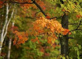 lönnträd klär sig i rött foto