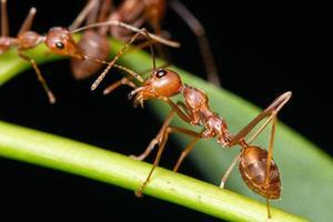 röda myror på löv foto