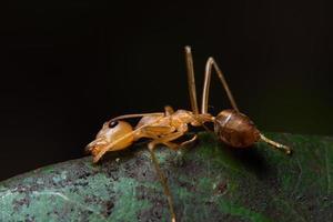 röd myra på ett blad, makro foto