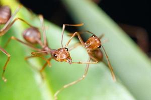röda myror på ett blad foto