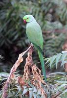 färgglad indisk papegoja foto