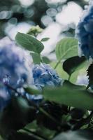 blå hortensia blommor