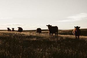 flock kor som betar på gräsmark