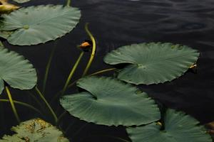 närbild av gröna liljekapslar