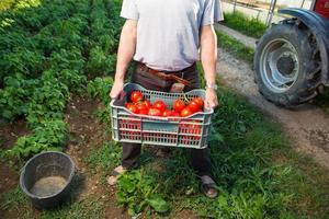 bonde med låda med färsk tomat