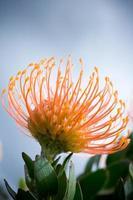 pincushion protea foto