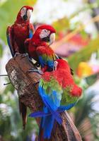 röd ara papegoja