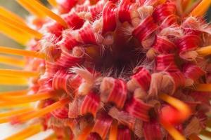 leucospermum cordifolium foto