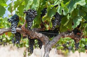 röda druvor på vinrankan i sommarsolljus, Sydafrika foto
