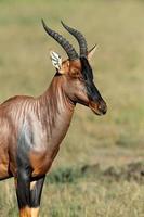 topi antilope foto
