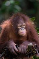 häckande orangutang foto