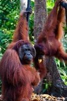 två orangutanger som hänger på ett träd i djungeln, Indonesien foto