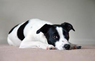liggande hund foto