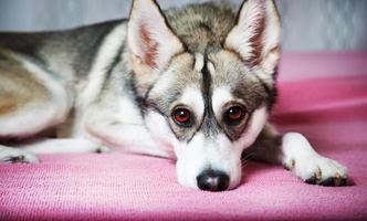 hund som ligger och vilar i soffan hemma foto