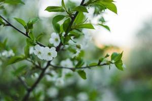 vit körsbärsblom foto