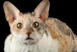 porträtt av calico cornish rex katt på svart bakgrund foto