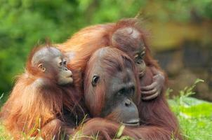 mor orangutang med sina barn foto