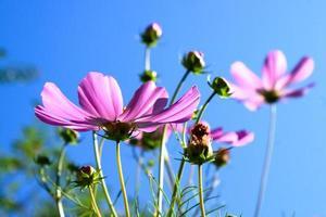 rosa vårblommor