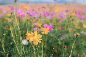 kosmos blomma och färgglada fält
