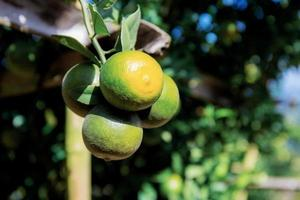 apelsin på träd foto