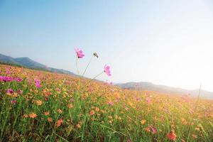 kosmos blommor i solljus