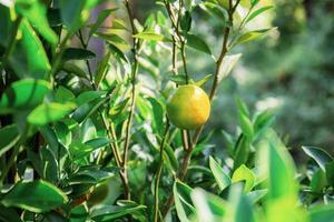 apelsin på ett träd foto