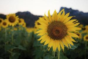 solros i fältet