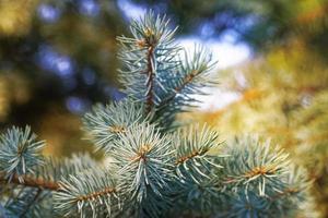 närbild kvistar med nålar