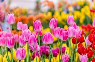 vackra rosa tulpaner foto