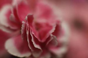 närbild av en rosa blomma