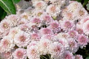 vita och rosa blommor foto