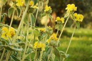 gula blommor i tilt shift-lins
