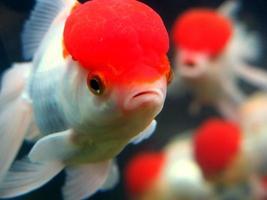 röd cap fisk foto