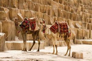 kameler på giza foto