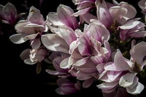 närbild av blommade magnoliablommor