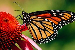 närbild av en monarkfjäril på blomman foto