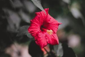 närbild av röd hibiskusblomma foto