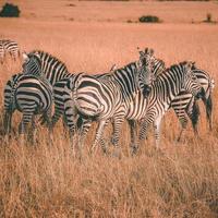 flock zebror
