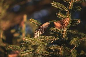 närbild fotografering av pinecone i gyllene solljus foto