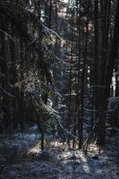 tallar täckta av snö foto