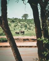 elefanter i ett fält foto